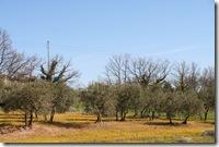 Oliven på gul eng